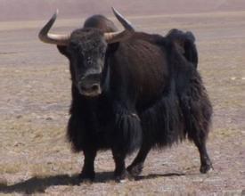 类乌齐牦牛肉