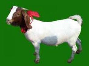 麟游布爾羊