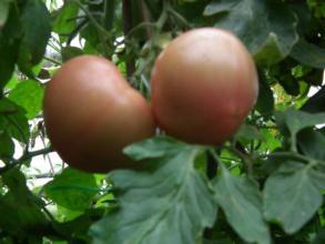 茶棚西紅柿
