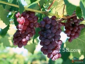 鮑子溝葡萄