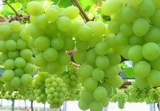 陽關無核白葡萄