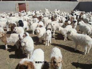 哈尔腾哈萨克羊