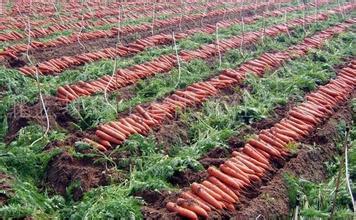 嘉峪关泥沟胡萝卜