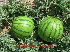 民和旱砂西瓜