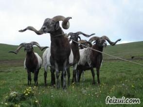 蘇呼歐拉羊