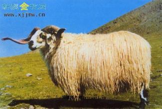 唐古拉藏羊