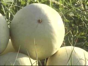 烏爾禾墾區白蘭瓜