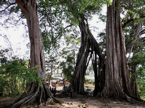 富巖大榕樹