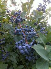 藍玉藍莓基地