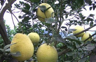 黃沙白柚生態園